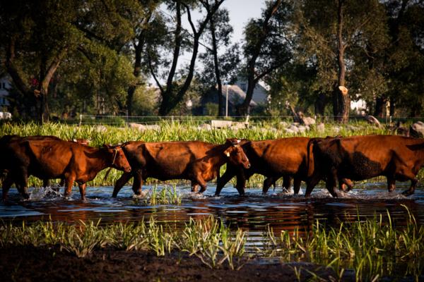 Fotografie z Podlasia, podlaska wieś, Brzostowo, przeprawa krów