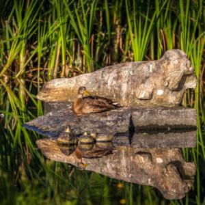 Lato w Augustowie, kacza na słońcu