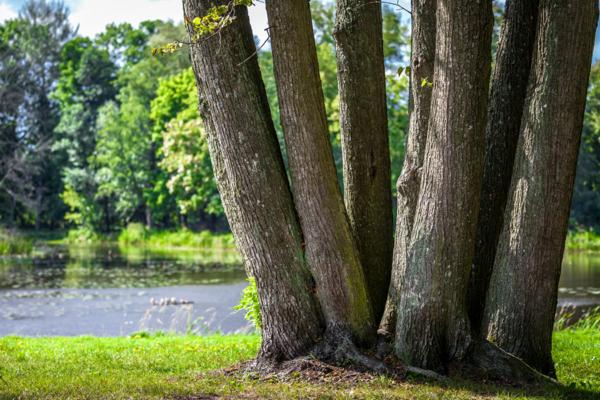 Drzewa w Białowieży, drzewostan Białowieży, naturalny las w Białowieży