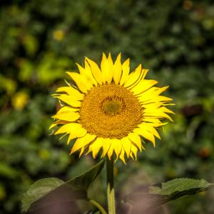 Słoneczniki w supraślu, Maciej Nowakowski, sunflowers in Poland