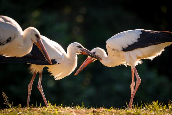 polish storks, stork in Poland, podlaskie bociany w akcji, Maciej Nowakowski
